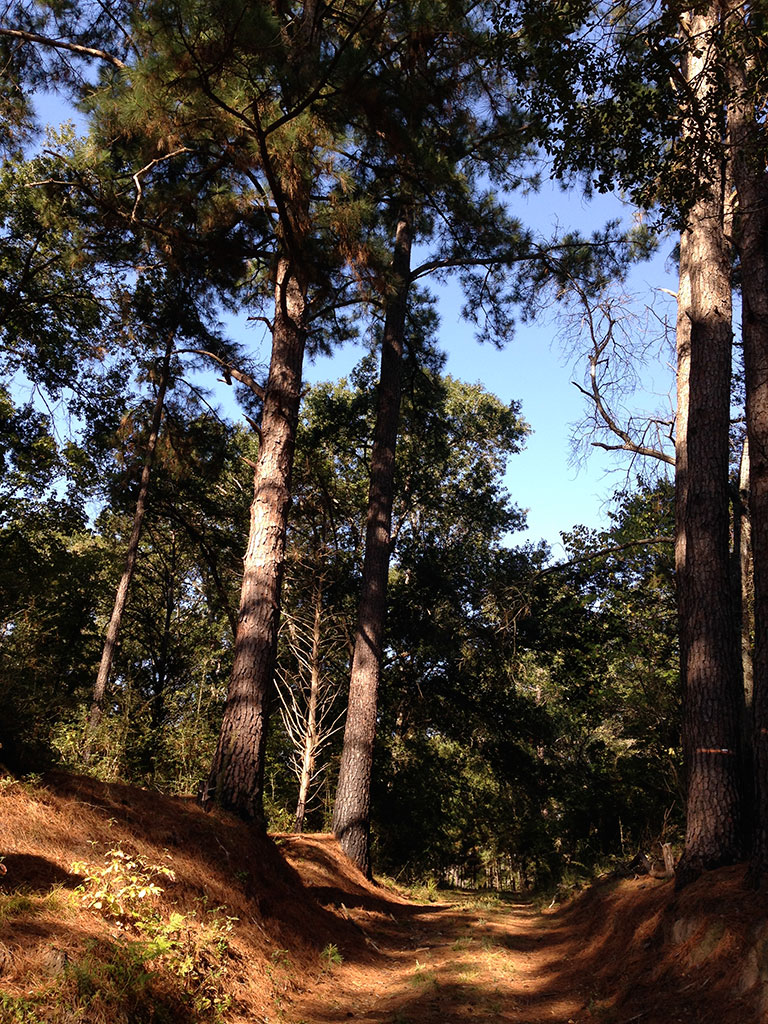 Even with the large stands of ruined trees, majestic pines still populate parts of the park.