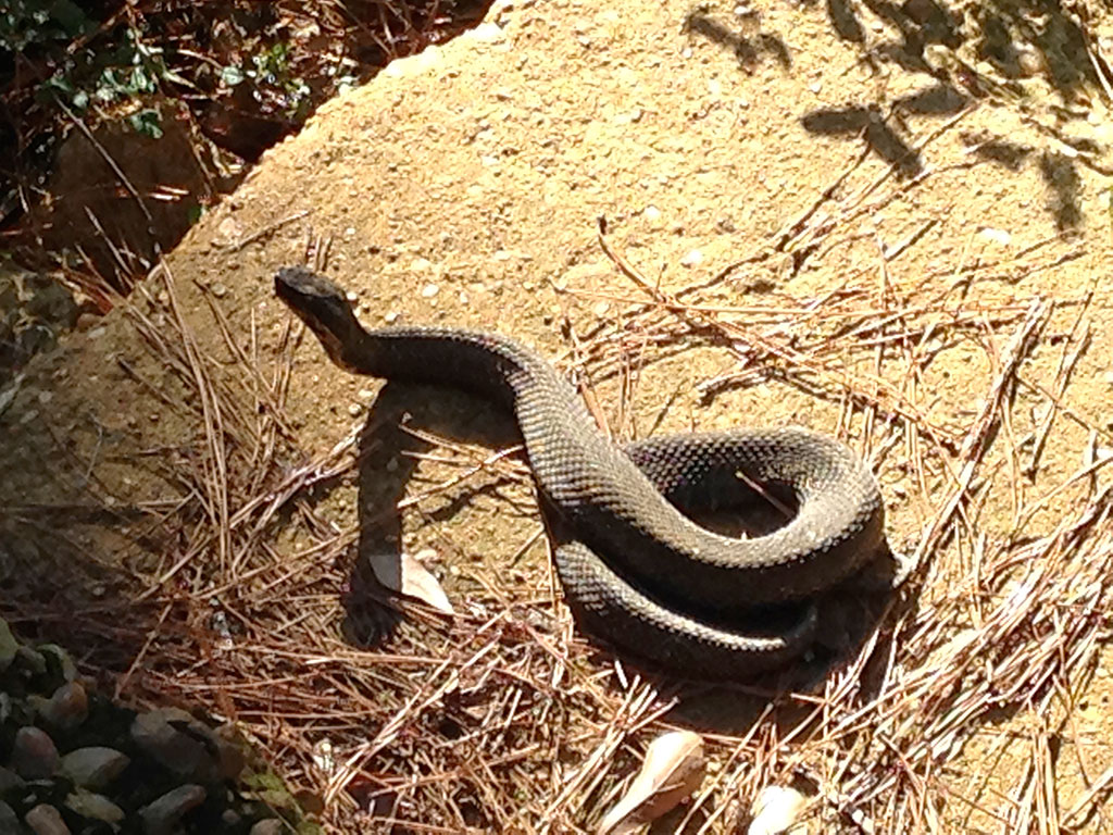 A nice-sized King Snake basks on a rock next to a creek. Snakes like this are vital to culling the mice in the park, which increased exponentially when natural predators left after the fire.